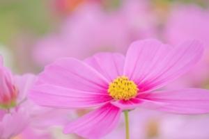 【色彩心理】ピンクの心理【カラーセラピー/ピンク】